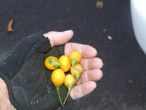 Kangaroo apple bush medicine gatherd by Melbourne Walks