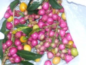 Lilly pilly bushtucker gathered by Melbourne Walks
